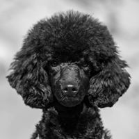 Mimi - The Black Poodle Facebookissa